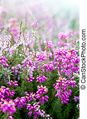 Purple bell erica heather plants