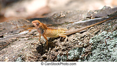 Changeable Lizard ( Calotes versicolor )