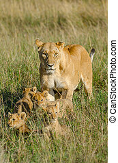 Lioness with 4 cubs - Lioness coming out from her hiding...