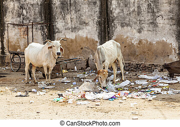 Sacred Cow in India feeding on garbage - Sacred Cow in India...