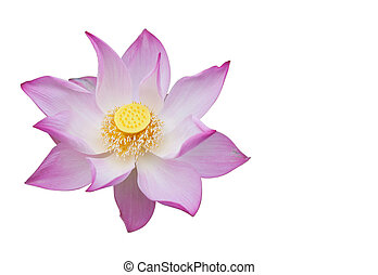 Pink waterlily on white