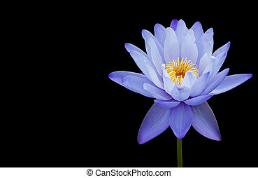 Water lily isolated on black background