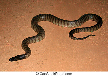 Black Headed Water Python - Kakadu National Park, Australia