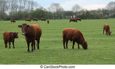 Brown cows and calfs. - Cows and calfs in field....
