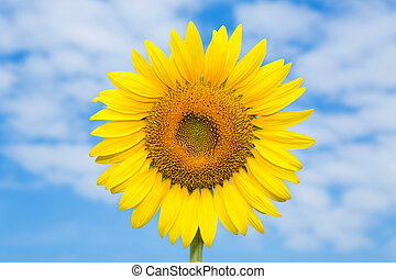 Sunflower against a blue sky.