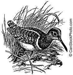 Bird Painted snipe in the grass