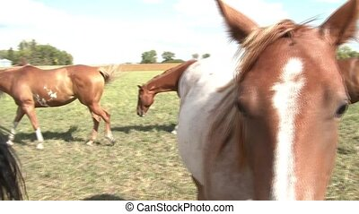Pan of Beautiful Horses in Pasture - Clip of horses in...