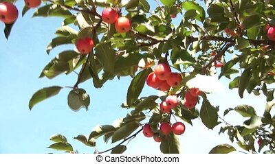 Picking Red Apple from Tree - Hand picks red apple from tree...