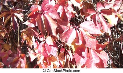Red Leaves in Autumn Season - Red leaves of fall move with...