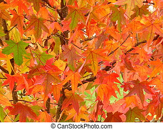 Liquidambar Leaves - Red and orange autumn foliage of...