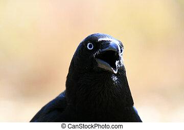 Australia, cuervo, nacional,  -, parque,  Kakadu