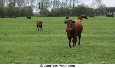 Brown cow - Brown cow stares at the camera Cambridgeshire,...