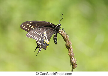 Black Swallowtail Butterfly (Papilio polyxenes) on dead...
