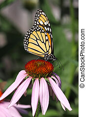 Monarch Butterfly (danaus plexippus) on Cone flowers