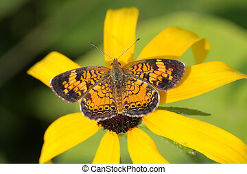 Pearl Crescent Butterfly (Phyciodes tharos) on a yellow...