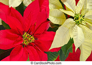 Poinsettia flowers - Red and cream colored poinsettia...