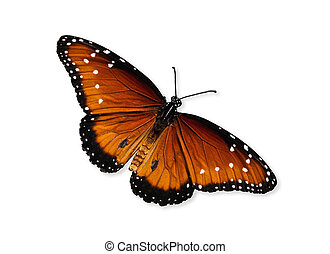 Queen butterfly Danaus gilippus isolated over white with...