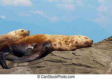 Two lazy Stellar Sea Lions on a rock