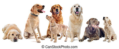 golden and labrador retriever - purebred labrador and golden...