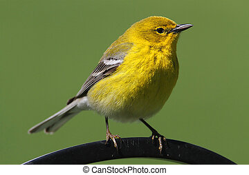 Pine Warbler (Dendroica Setophaga pinus) on a perch in early...