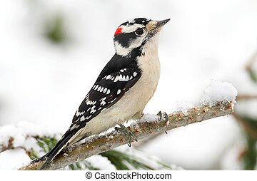 Downy Woodpecker picoides pubescens branch with snow with a...