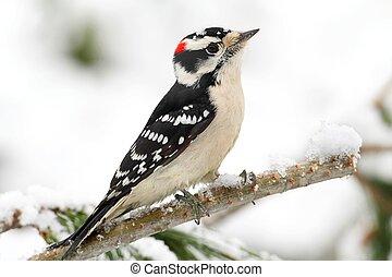 velloso, pájaro carpintero, (picoides, pubescens)