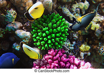 Coral and fish-rhino in the Red Sea. Egypt, Africa. - Coral...
