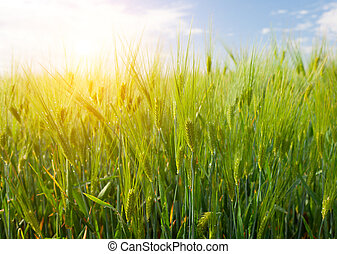 field of green rye and sunset