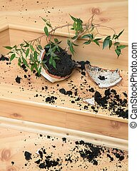 """Plant in a broken flower pot - Young plant - """"Ficus"""" in a..."""