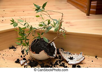 Plant in a broken flower pot - Young plant - Ficus in a...