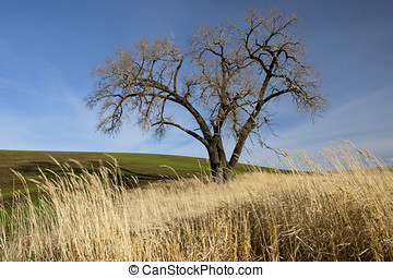 Large tree in the palouse. - A large old tree stands in the...
