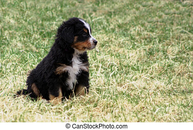 Puppy Bernese Mountain Dog - Adorable Puppy Bernese Mountain...