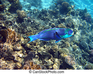 Parrot fish - Tropical fish and coral reef