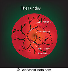 Retina - Illustration of human fundus.