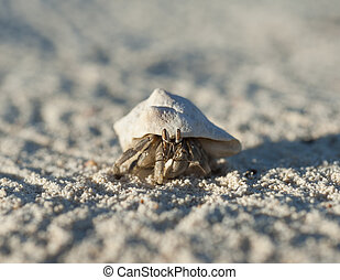 Hermit crab on a sandy beach - Red Sea hermit crab walking...