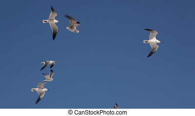 Sea-gulls (Larus marinus) fly to the sky.