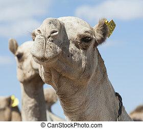 dromedario, camellos, africano, Mercado