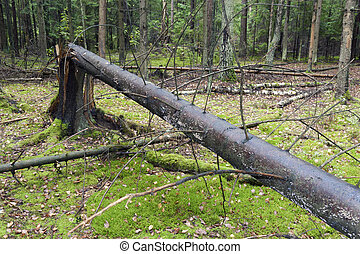 windfall - big broken tree in forest windfall area
