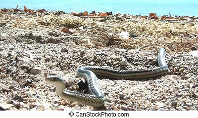 Snake at Lake in Sun - Close up of a snake near a lake on...