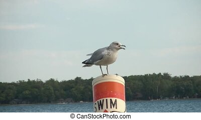 Seagull on No Swimming Buoy