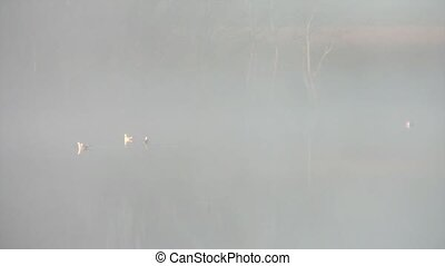 Seagulls on Foggy Lake - Four seagulls swim together in...