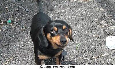 Small Dog Barking at Camera - Small dog barks closely at...