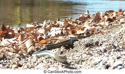 Snake Staring at Lakes Edge - Snake stares laying on sand at...