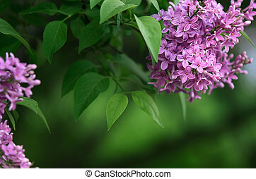 Background with blooming lilacs - Background for design with...