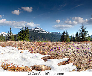 Field of blooming crocuses in the mountains at spring