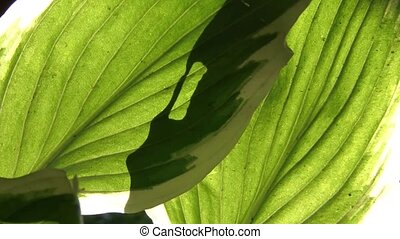 Sunlight Through Big Green Leaves - Bright sunshine...