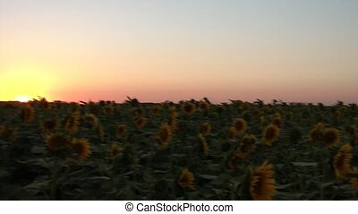 Sunset at Sunflower Field in Summer - A sunset at sunflower...