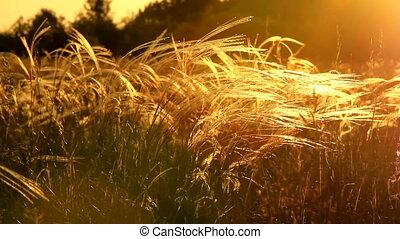Stipa - Beautiful stipa in the sunset light