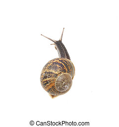 Snail - A snail backview isolated on white
