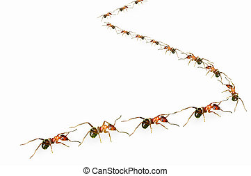 "Ants queue - A group of ants arranged in ""s"" shape."